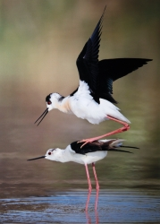 Colour Print MCPF RibbonBlack Winged Stilts MatingPaul Keene  Smethwick PS