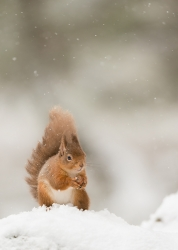 Nature Pdi MCPF RibbonRed squirrel in the snowJohn Coe Leek PC