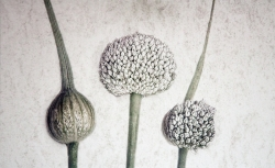 Colour Print MCPF RibbonWhite Alliums Judi Dicks  Stafford PS