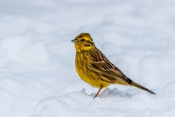 Nature Pdi MCPF Ribbon Yellowhammer in SnowPeter Cox Burton on Trent PS