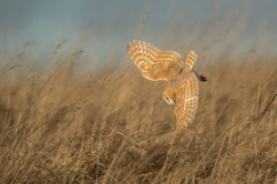 Best Nature PDiBarn Owl HuntingBarrie Glover  Worcestershire CC