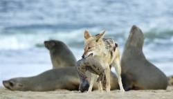 Nature Pdi Highly CommendedJackal with Seal PupRussell Price
