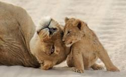 Nature Pdi Highly CommendedLioness and CubKen Rasmussen