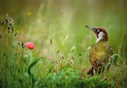 MCPF selector Medal Nature PrintGreen Woodpecker in Meadow