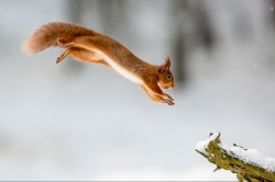 Pdi MCPF RibbonLeaping Red Squirrel Nick Carter Smethwick PS