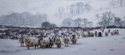 Colour Print MCPF RibbonWinter Sheep in BlizzardLes Beardmore Blythe Bridge CC