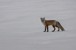 Red Fox and Snow-Michael Windle-MCPF Ribbon